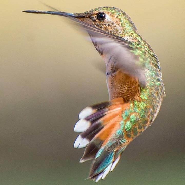 tracyjohnsonhummingbirds5