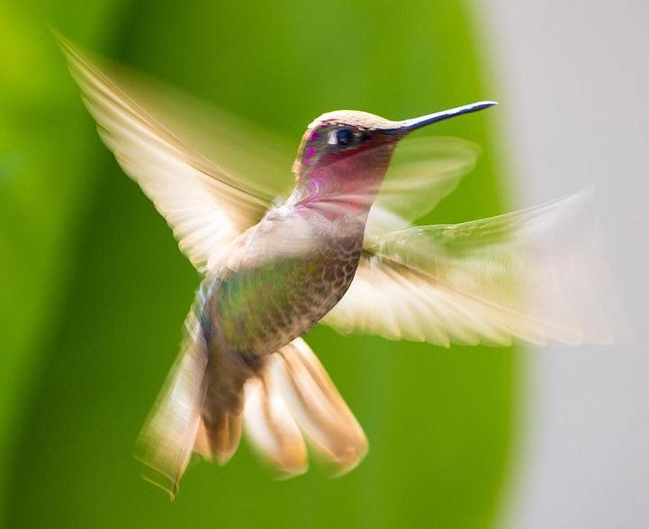 tracyjohnsonhummingbirds6