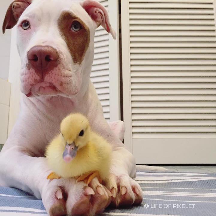 fotos perros y patos