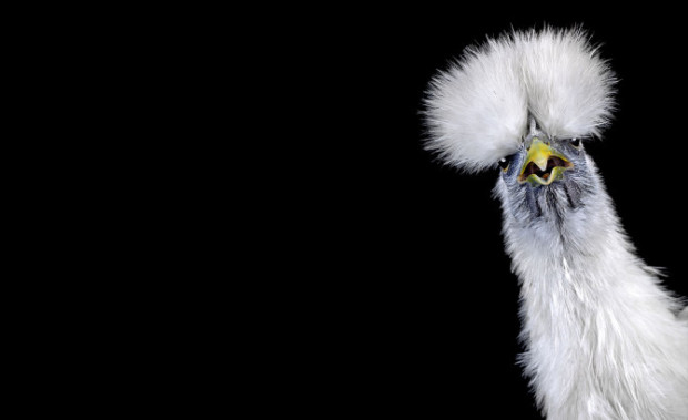retratos de aves de corral