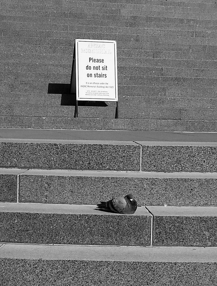 Paloma desobediente