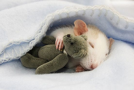 Fotos de mascotas hamster siestas