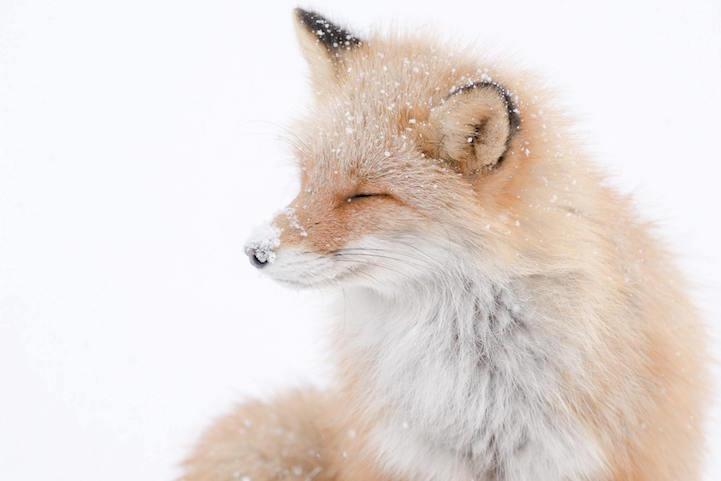 fotos zorros en japón