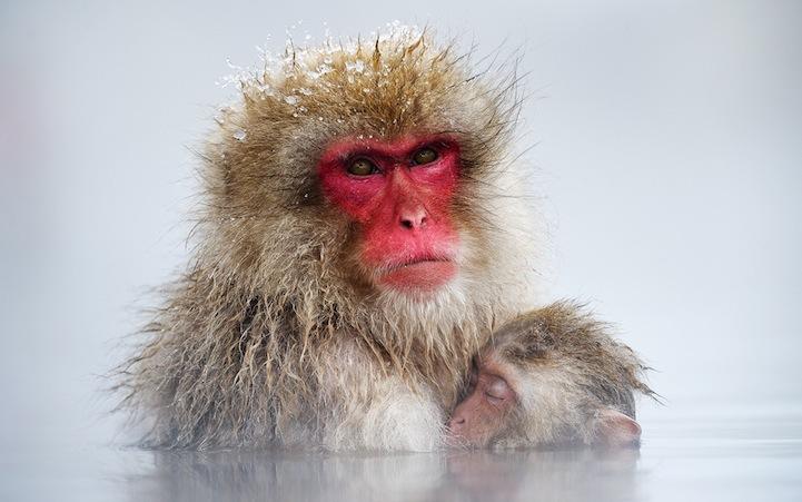 Retratos Del Mono De Nieve Por Jasper Doest