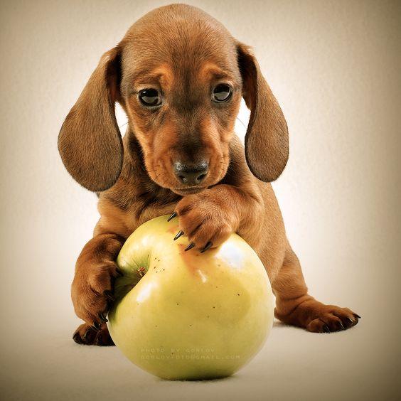 Perro jugando con manzana