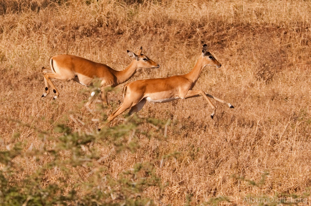 Antilopes corriendo