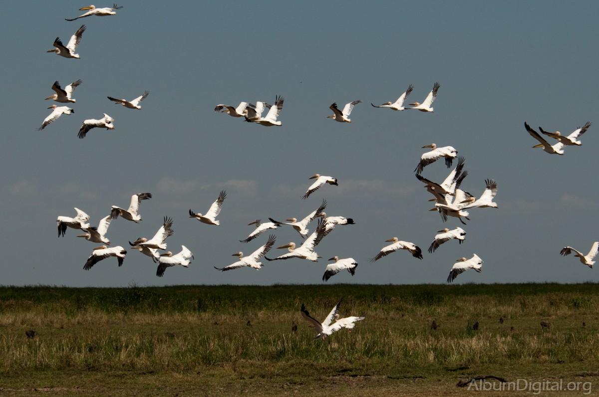 Bandada de pelicanos - Fotos de pelicanos ...