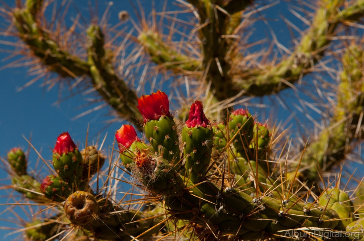 Cactus Con Flores Rojas