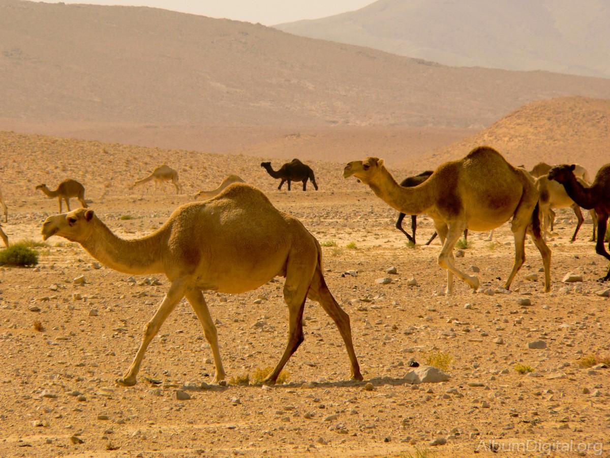 zonas climaticas del mundo Camellos-en-desierto-de-siria_P1030436_1200px