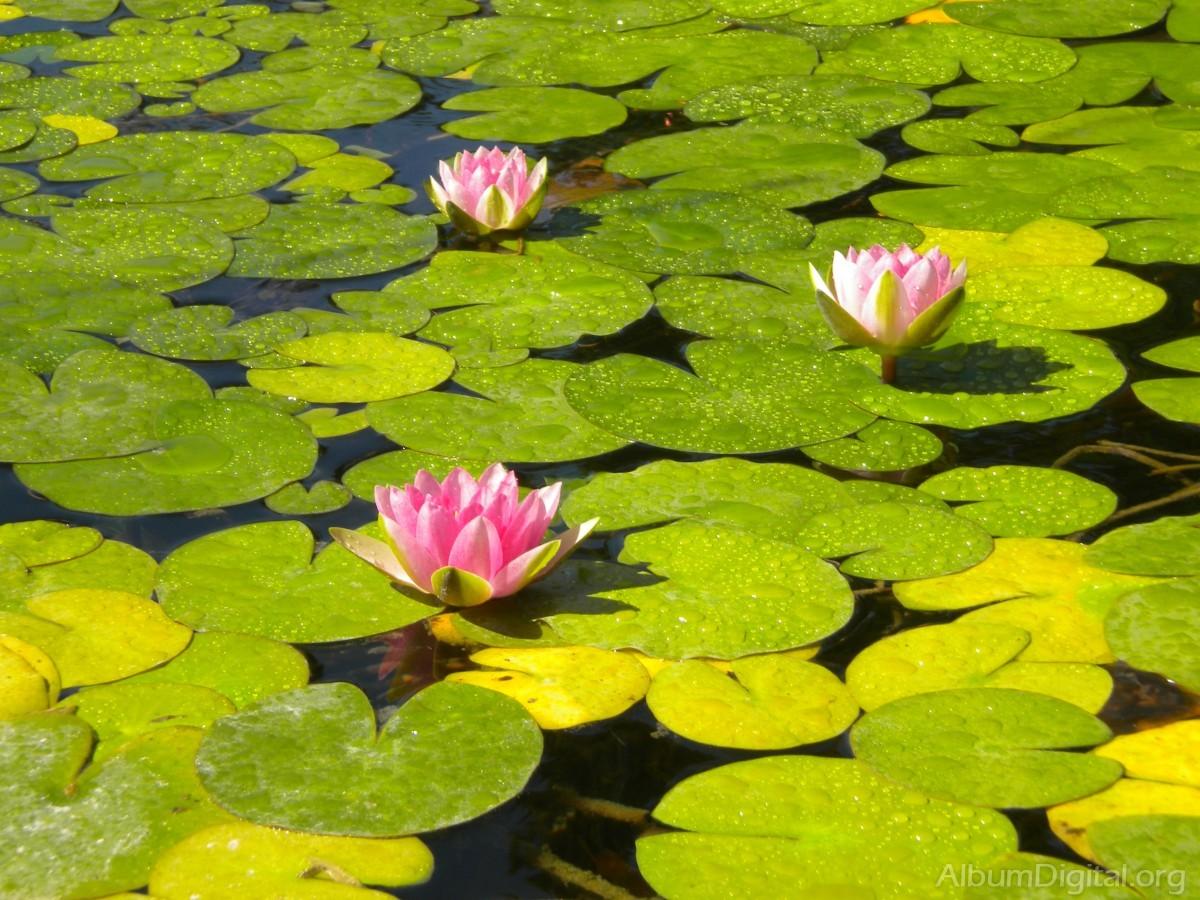 Estanque con nenufares for Imagenes de jardines con estanques