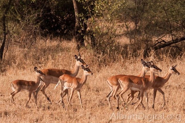 Grupo de antilopes